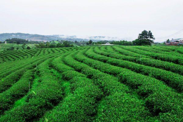 envato tea-of-nature-green-PAMS22E