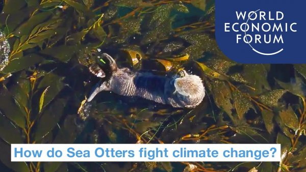 Sea Otters that Fight Climate Change
