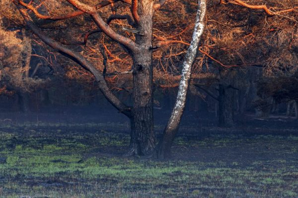 birch-and-pine-tree-burned-in-wild-fire-Q37GCU4